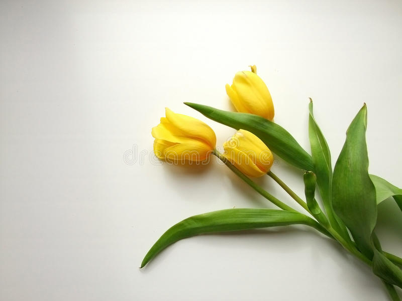 Yellow tulips. On a white background. yellow flower royalty free stock photography