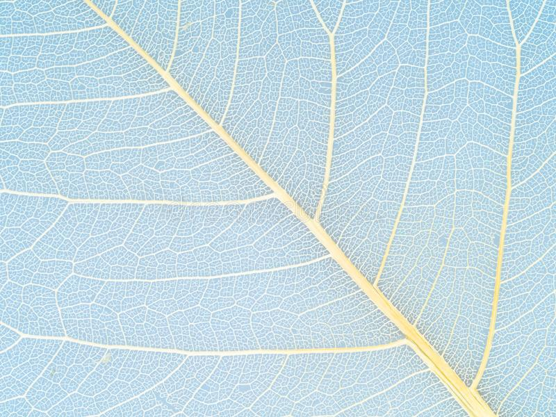 yellow veins of dried leaf close up on blue royalty free stock photography