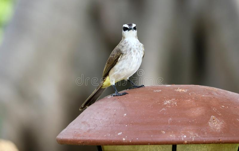 Yellow-vented Bulbul at Bali Indonesia, beautiful unique local bird in Asia. stock photos