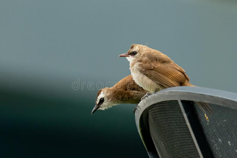 Yellow-vented bulbul both juvenile and adult perching on satellite dish in urban area of Bangkok. Thailand royalty free stock photo