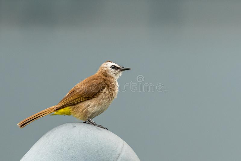 Yellow-vented bulbul perching on a plastic dome in urban area. Bangkok, Thailand royalty free stock photography