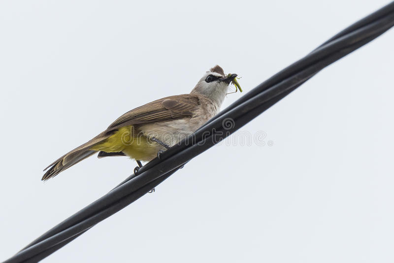 Yellow-vented bulbul. Sitting on an electric wire on white royalty free stock images