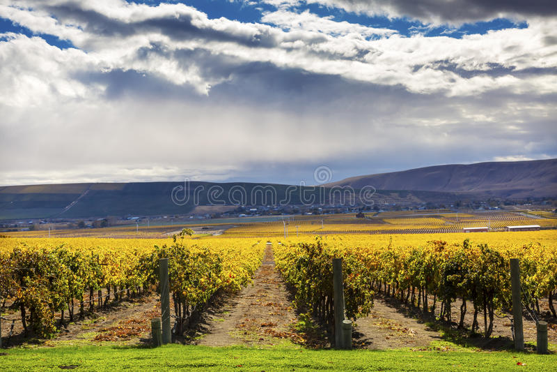 Yellow Vines Grapes Fall Vineyards Red Mountain Benton City Washington royalty free stock image