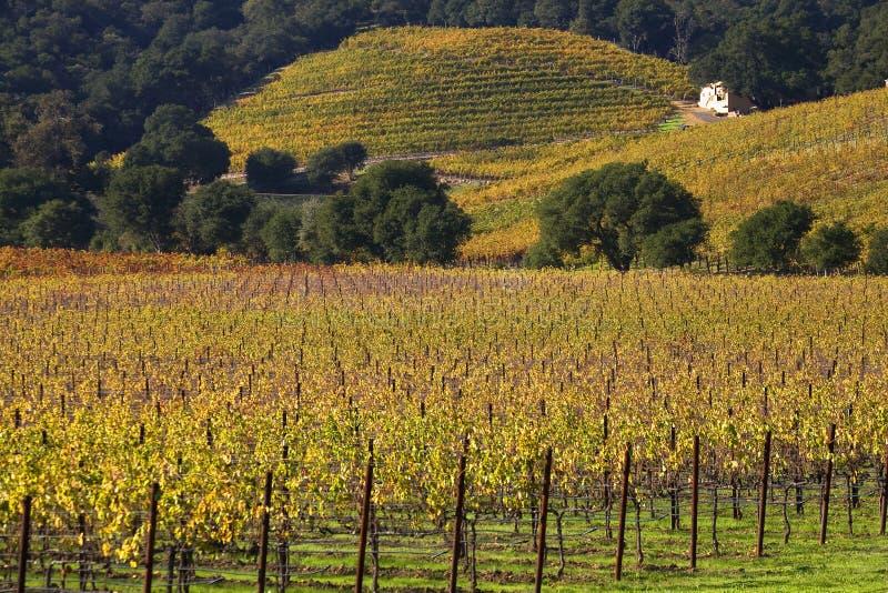 Yellow Vines Leaves Vineyards Fall Napa stock photo