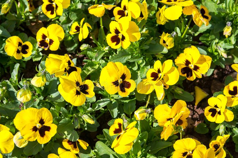 Yellow viola flowers, Yellow tricolor pansy royalty free stock image