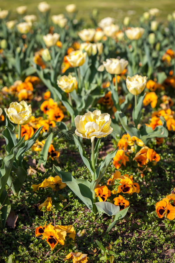 Yellow Violas and Tulips. Beautiful garden flowers in spring royalty free stock image