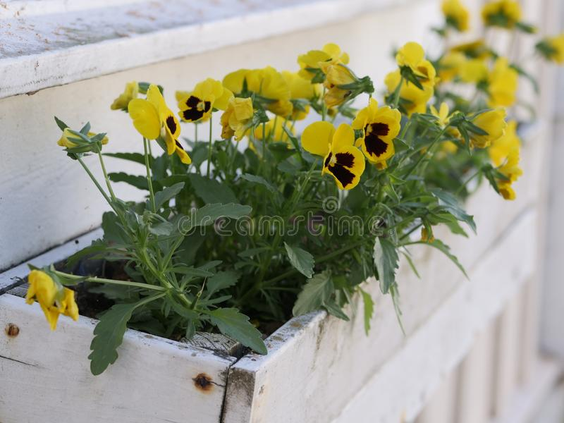 Yellow violas in a white flowerpot stock photos