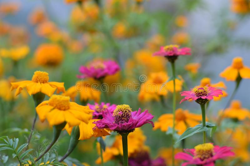 Yellow and violet flowers in the mountains of Nepal`s Langtang National Park. Nepal royalty free stock photos