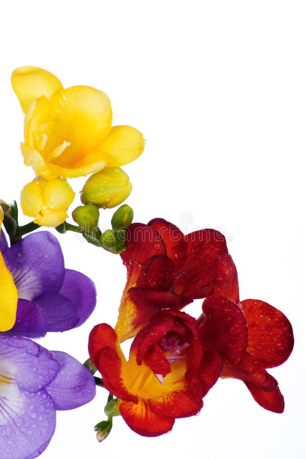 Download Yellow and violet fresia stock image. Image of gift, freesia - 23982743
