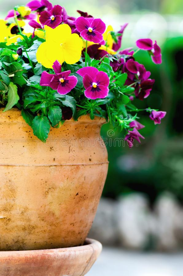Yellow and violet pansies in flower pot in garden. Copy space. Spring and summer concept. stock photography