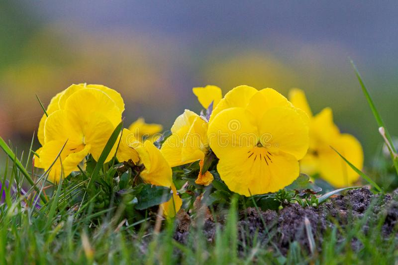 Yellow violets in a spring garden royalty free stock photography