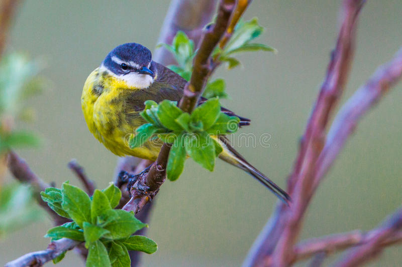 Yellow Wagtail. Adult Yellow Wagtail in Breeding Plumage Perched on Willow Branch royalty free stock image