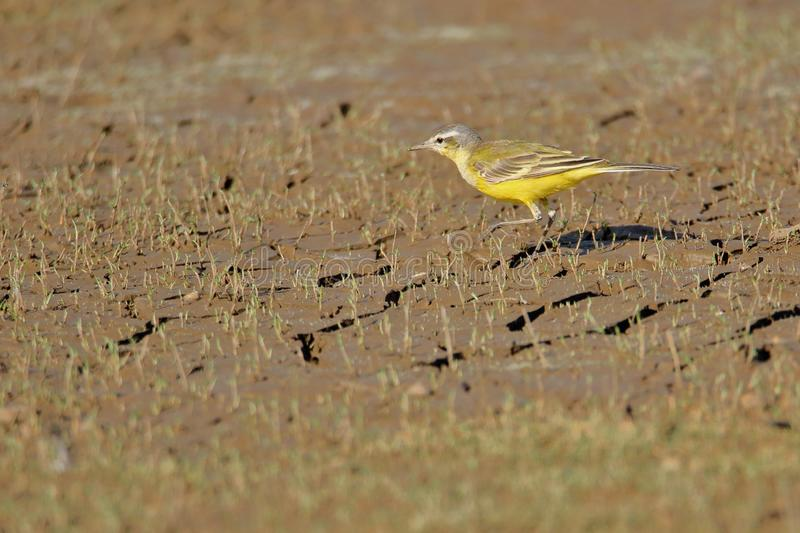 Yellow wagtail bird. Searching food in the marshland near river. this bird is called by the name yellow because wagtail because of the bright yellow color of royalty free stock image