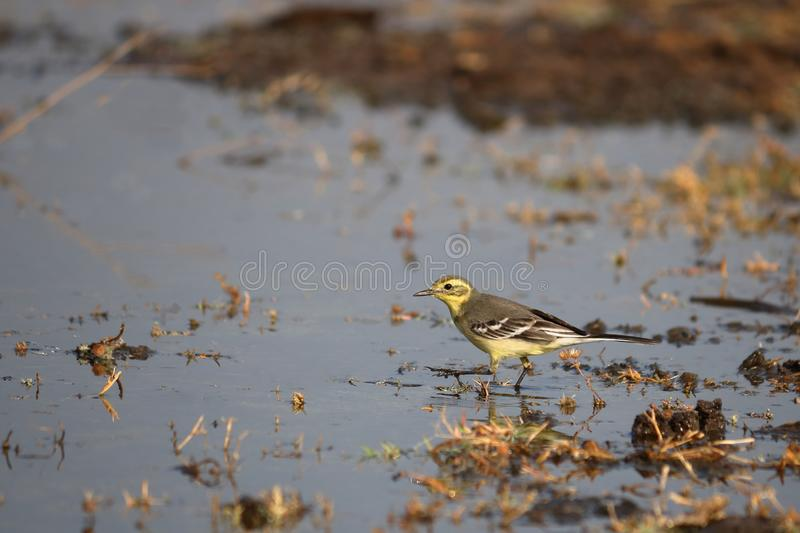 Yellow wagtail bird. Searching food in the water of pond. very natural and beautiful royalty free stock photography