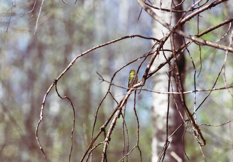 Yellow Wagtail on a branch in spring forest stock photo