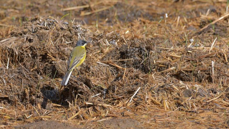 Yellow wagtail on dry grass. In may royalty free stock photo