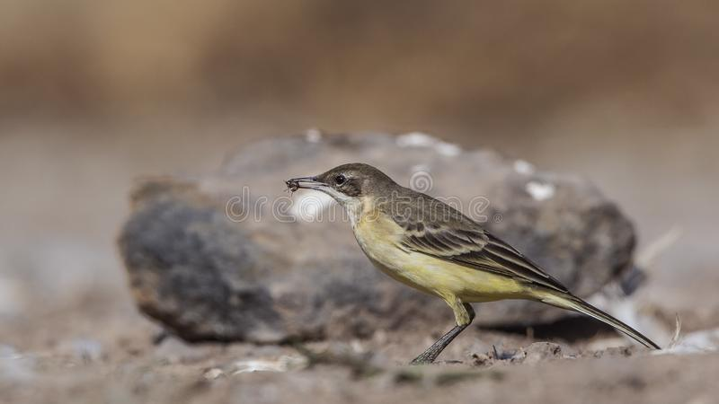 Yellow Wagtail Eating Insect. Yellow wagtail, Motacilla flava, is eating insect royalty free stock image