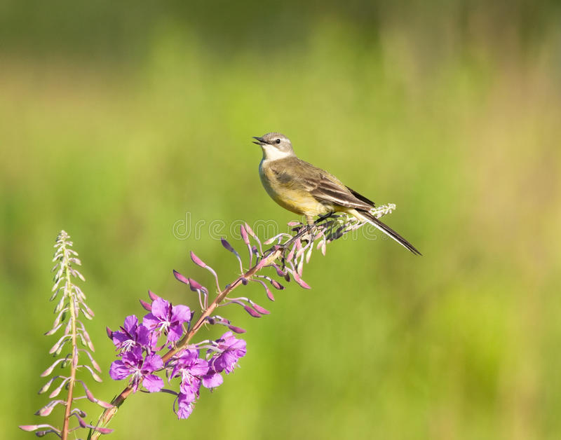 Download Yellow Wagtail On Fireweed Flower Stock Image - Image: 29625581