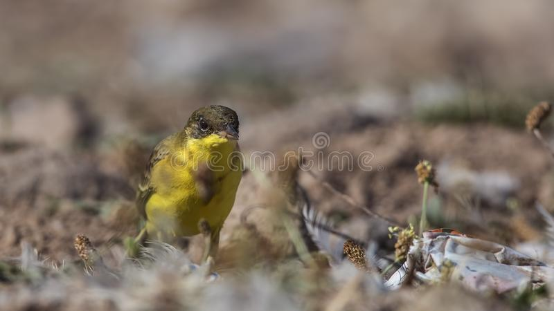 Yellow Wagtail Eating Worm. Yellow wagtail, Motacilla flava, is eating worm stock photo