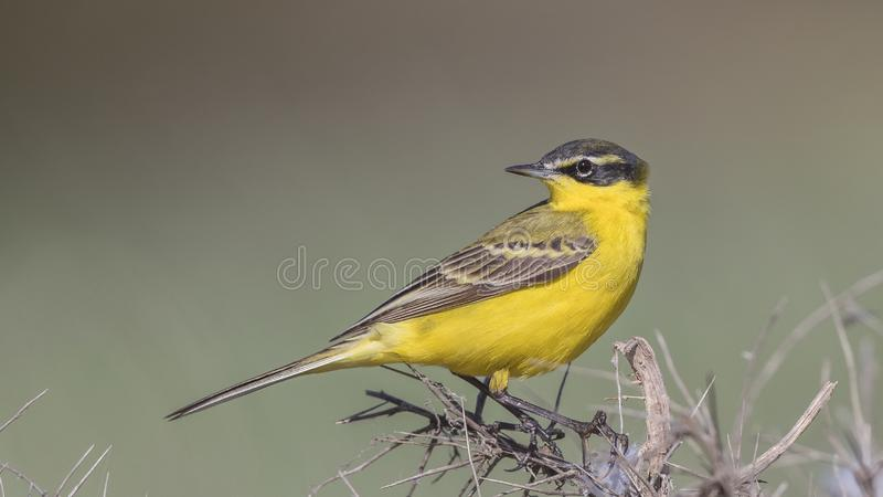 Male Yellow Wagtail on Shrubbery Looks Back. Yellow wagtail, Motacilla flava, perch on shrubs with green background stock photo