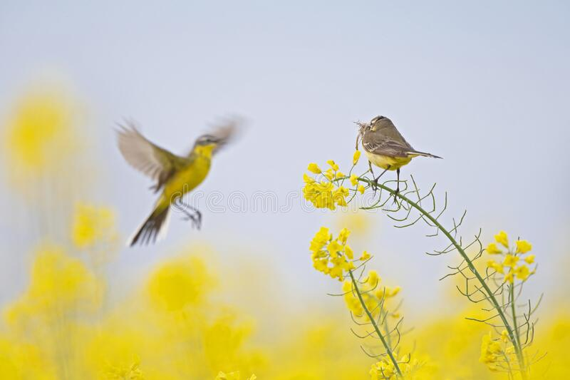 A female yellow wagtail perched with nest material in its beak on the blossom of a rapeseed field. With the male flying in front o. A yellow wagtail perched with royalty free stock images