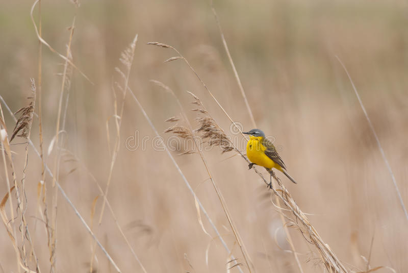 Yellow Wagtail. Perching on a reed stem in spring stock photos