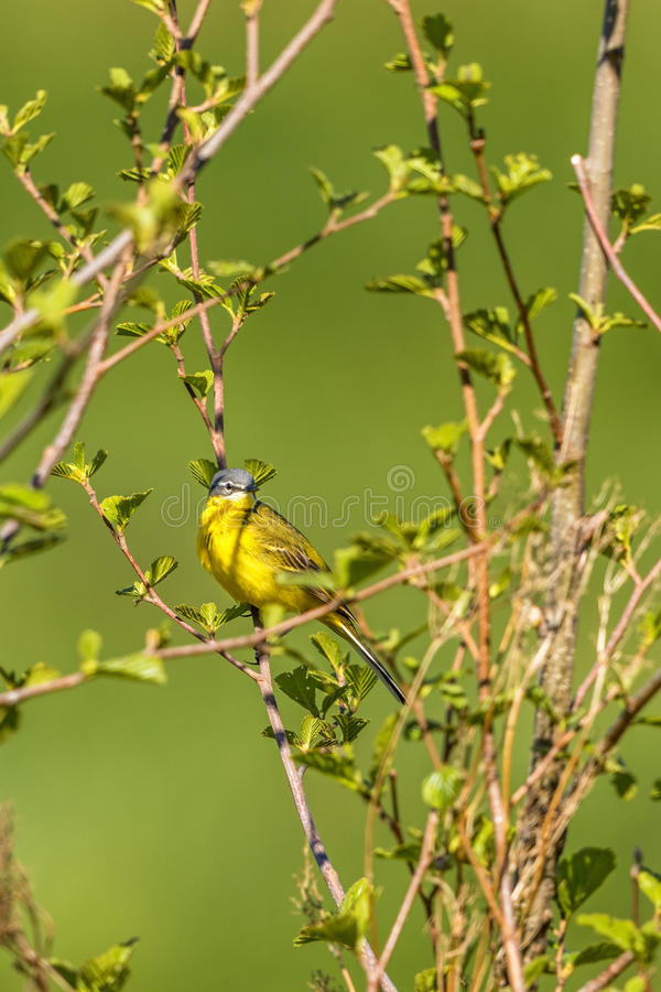 Yellow wagtail sitting in a tree royalty free stock image