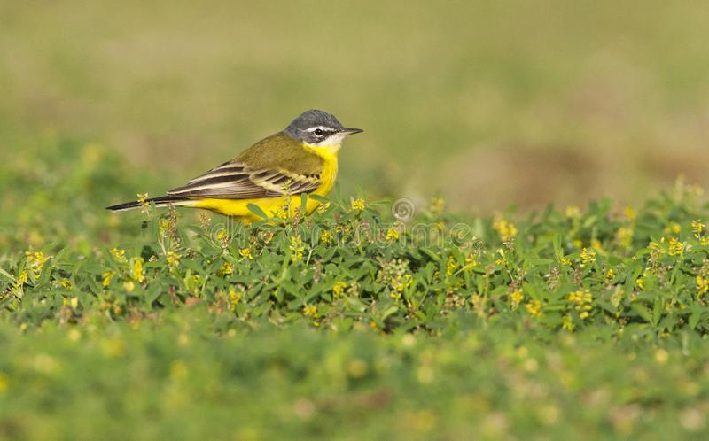 Yellow Wagtail Species Eilat. Yellow Wagtail (sub)species Eilat royalty free stock photos