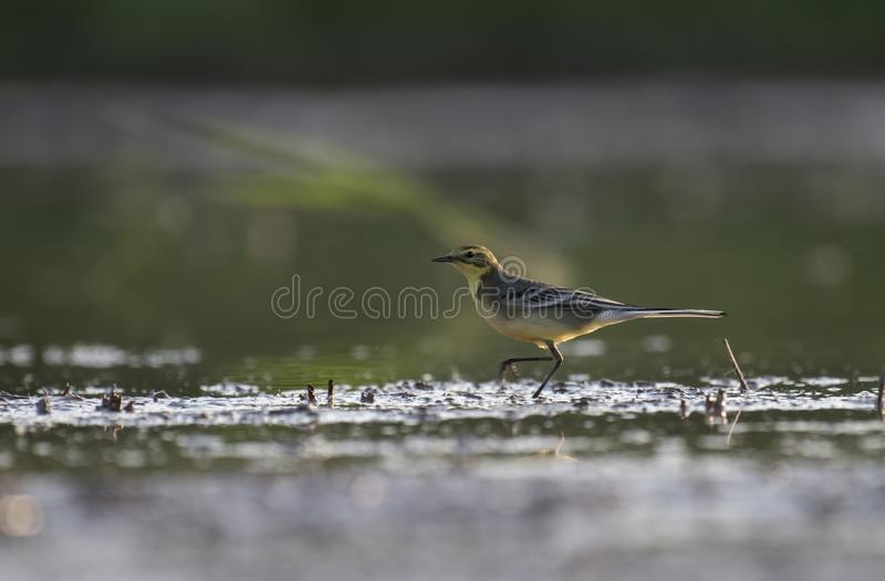 The yellow wagtail in wetland. At sunrise stock image