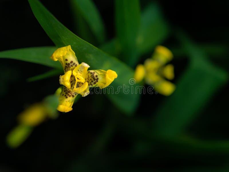 Yellow walking iris Flowers Blooming. The Yellow walking iris Flowers Blooming in behind The Dark Background stock photo