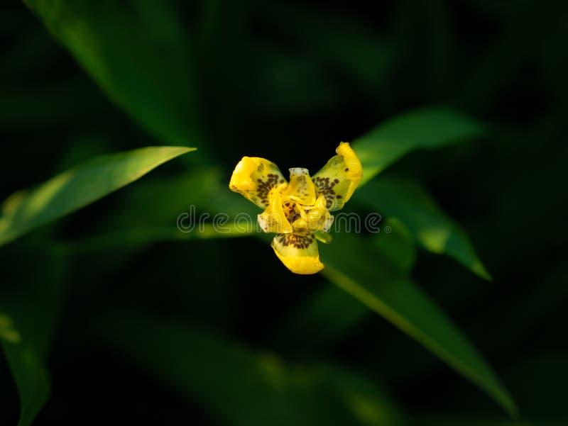 Yellow walking iris Flowers Blooming. The Yellow walking iris Flowers Blooming in behind The Dark Background stock image