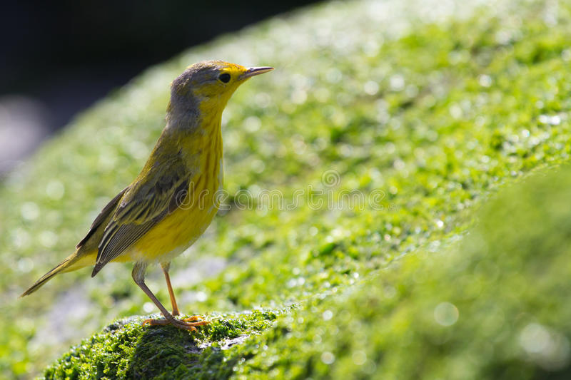 Download A Yellow Warbler stock image. Image of gardner, south - 22077793