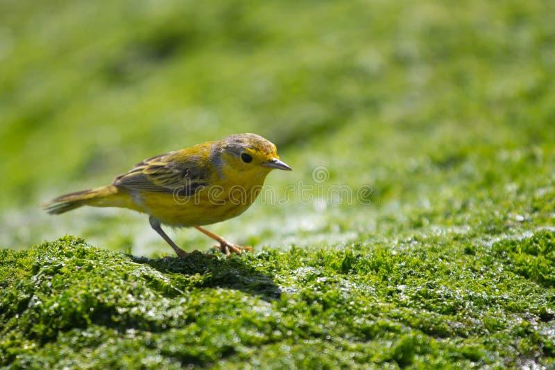 Download Yellow Warbler stock photo. Image of wildlife, yellow - 22107106
