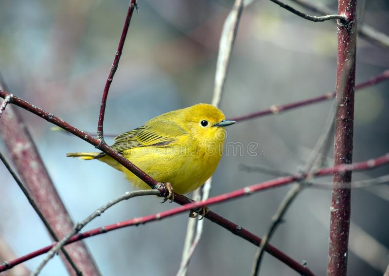 Yellow Warbler bird Dendroica petechia Canada. Closeup of a beautiful yellow songbird, Yellow Warbler perching on a Red Osier Dogwood branch during spring stock image