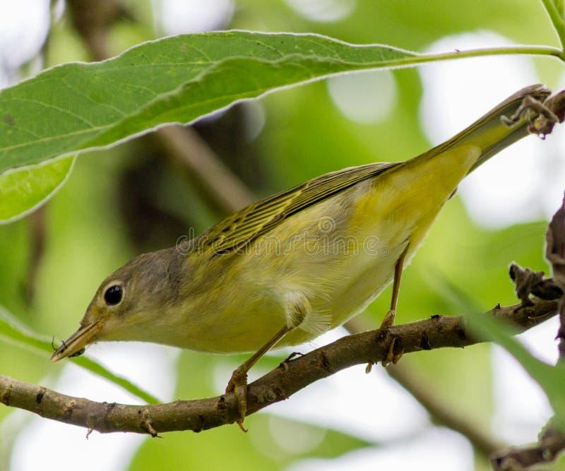 Yellow Warbler Bird royalty free stock photo