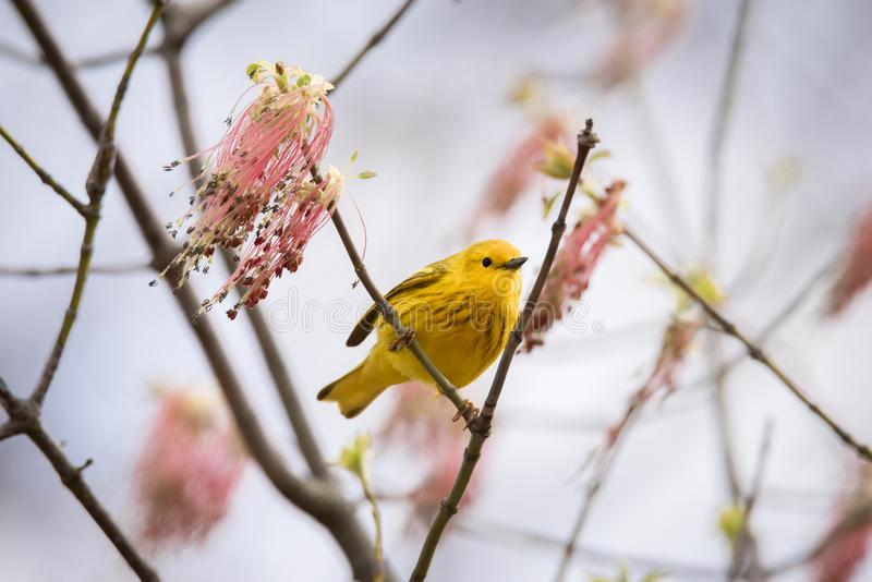 Yellow Warbler Bird with Pink Manitoba Maple Flowers. A Yellow Warbler perched in a flowering Manitoba Maple tree in the Wet Woods section of Toronto`s Tommy royalty free stock images