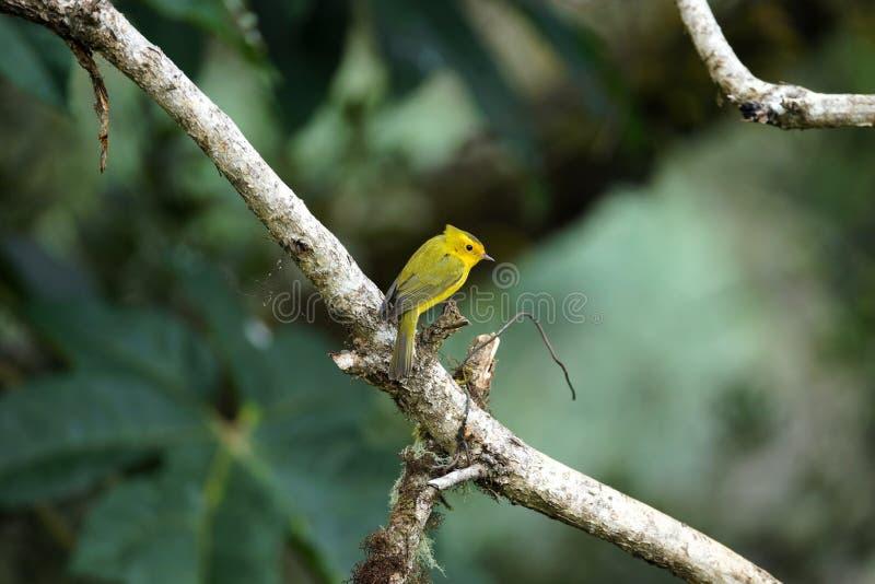 Yellow warbler bird sitting on a big tree branch.  stock photo