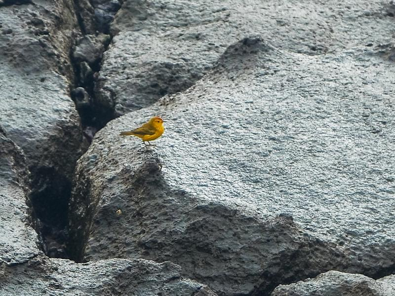 Yellow warbler foraging on isla sth plazas in the galapagos. Yellow warbler foraging food on rocky shoreline of isla south plazas in the galapagos islands royalty free stock photography