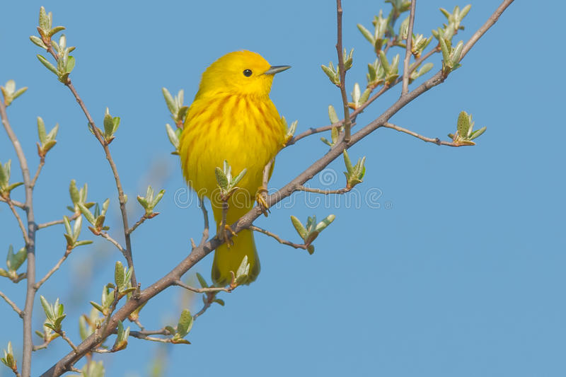 Yellow Warbler. Perched on a branch stock photo