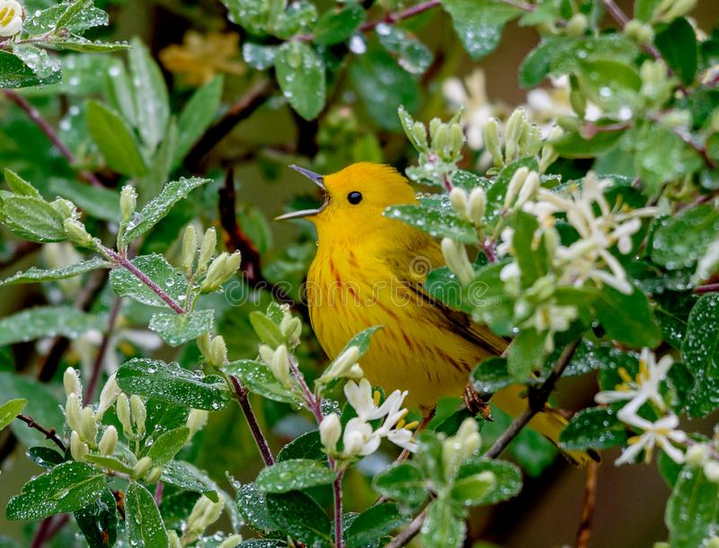Yellow Warbler in a spring rain royalty free stock images