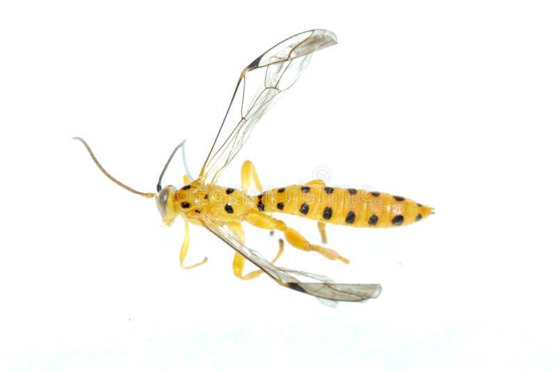Yellow Wasp Stock Photo