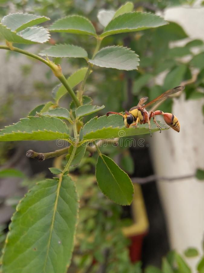 Yellow wasp, bee sitting in green leaf photography royalty free stock photo