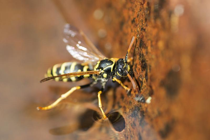 Yellow wasp drinks water. Insect. Close up macro shot of yellow jacket wasp floating on water.  royalty free stock images
