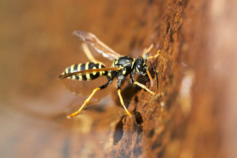 Yellow wasp drinks water. Insect. Close up macro shot of yellow jacket wasp floating on water.  stock photography