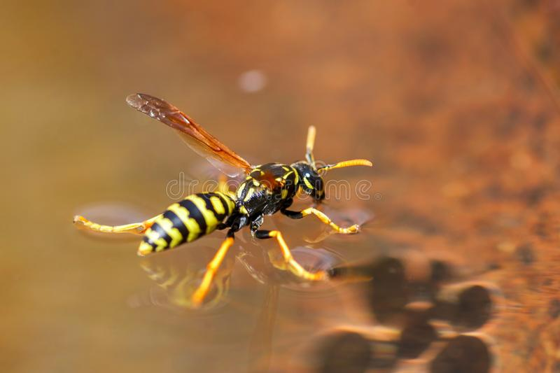 Yellow wasp drinks water - insects. Close up macro shot of yellow jacket wasp floating on water.  royalty free stock photography