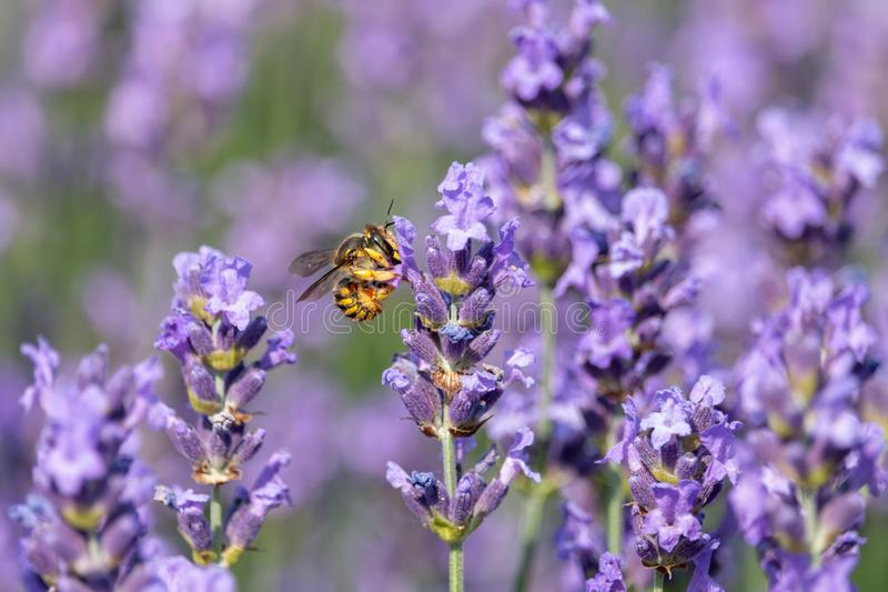 Yellow wasp on purple blooming lavender flowers with blurred background stock photo