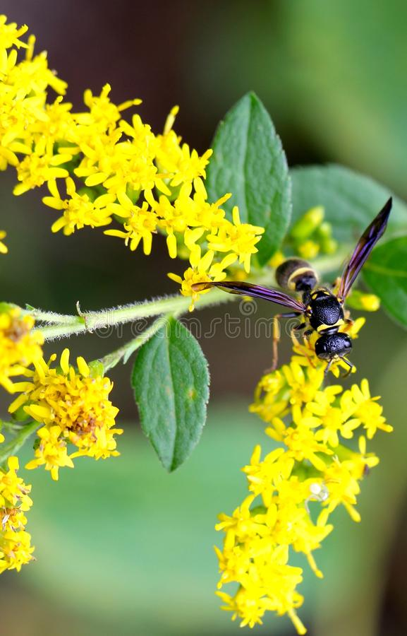 Yellow Wasp Purple Wings royalty free stock photos