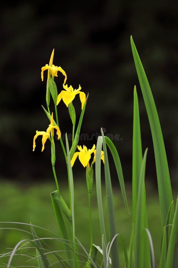 Yellow water iris stock images