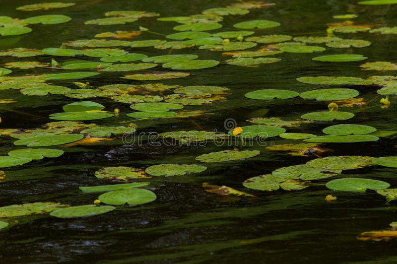 Yellow water lilies in a lake.  stock photos