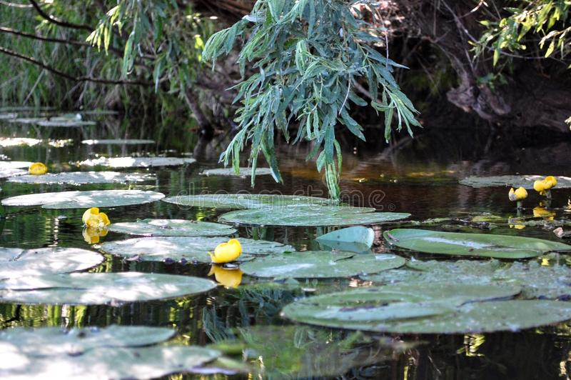 Yellow water lilies on the river royalty free stock photography